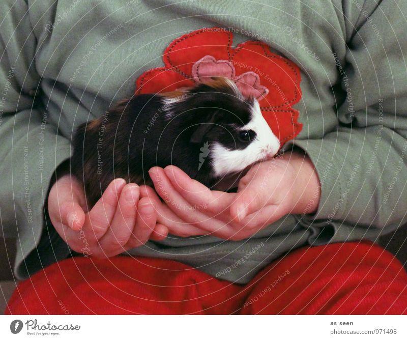 Das Schwarzweiße Kind Kindheit Leben Fell Tier Haustier Meerschweinchen Nagetiere 1 Tierjunges authentisch kuschlig Wärme weich rot schwarz Lebensfreude