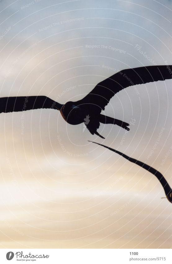 Fregatvogel Himmel Meer Tier fliegen Lust