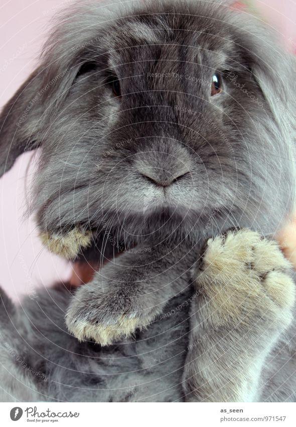 Hasenfuß Natur Tier Frühling grau Gesundheit außergewöhnlich authentisch Tierfuß ästhetisch Coolness Ostern Fell Tiergesicht Haustier Hase & Kaninchen frech