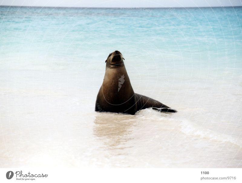 Seehund Tier Meer Strand Ferien & Urlaub & Reisen Galapagosinseln seehhund Insel Blick Wasser Sand zutraulich