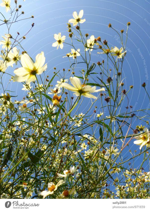 Flowerpower... Natur Pflanze weiß Sommer Blume Bewegung Blüte natürlich wild Wachstum leuchten Sträucher Fröhlichkeit ästhetisch Blühend Schönes Wetter