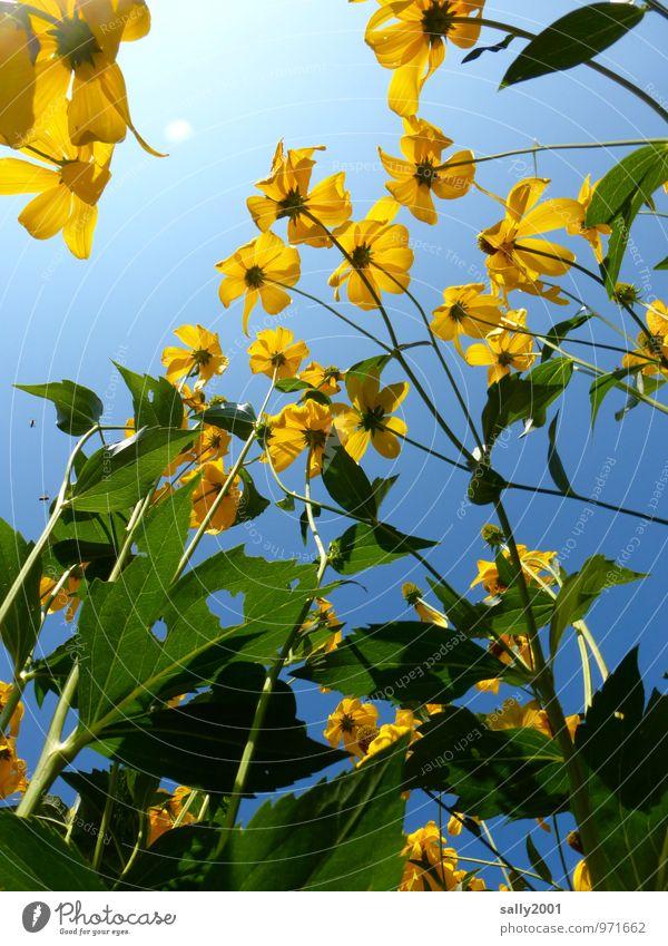 sommerlich... Pflanze Wolkenloser Himmel Sommer Schönes Wetter Blume Sträucher Garten Blühend leuchten Wachstum frei natürlich oben Wärme gelb Fröhlichkeit