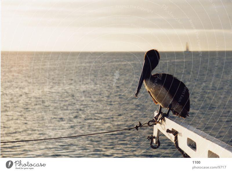 Pelikan Meer Wasserfahrzeug Horizont Volgel sitzen