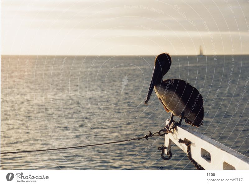 Pelikan Wasser Meer Wasserfahrzeug Horizont sitzen
