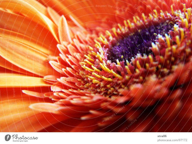 wie die sonne Gerbera Blüte Blütenblatt strahlend zart Blume Pflanze Blütenpflanze rot Sommer sommerlich Physik frisch violett springen Frühling Beiboot Brand
