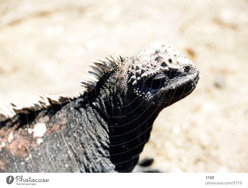 Meerechse Meerechsen Echsen Leguane Galapagosinseln Urzeit Blick