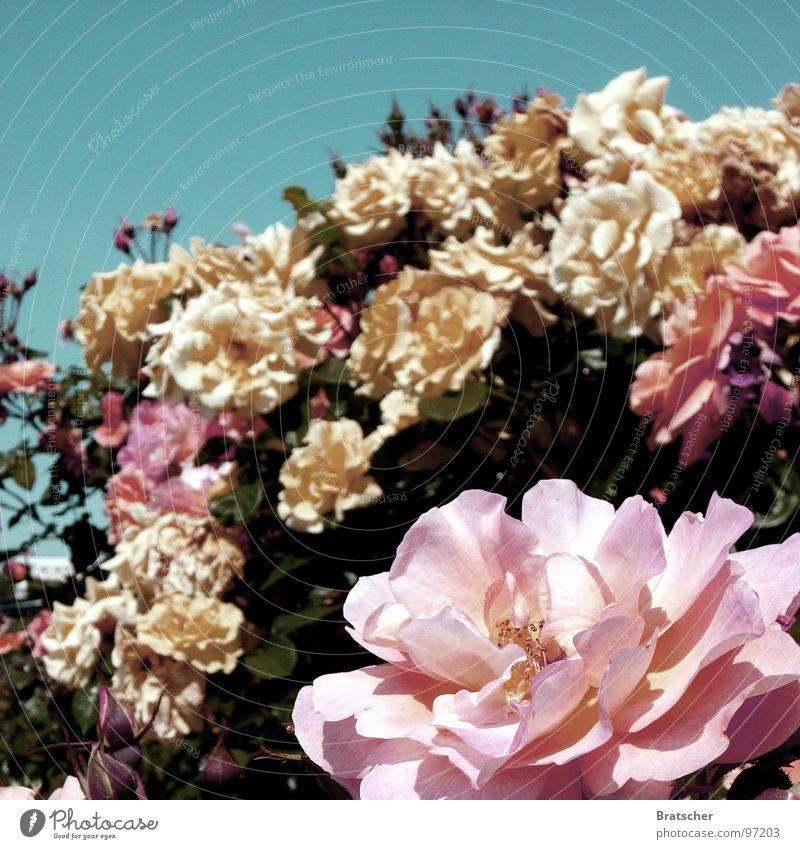 Rosenkavalier (Richard Strauss) Duft Konzert Oper Blume Blüte Blumenstrauß gelb rosa Kavalier Edelmann Verschwörung Nahrungsergänzungsmittel Blütenknospen
