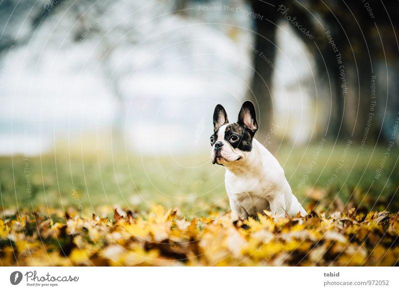 Cardhu Pt. 4 Natur Landschaft Pflanze Herbst Baum Gras Park Wiese Wald Tier Haustier Hund französische buldoge 1 beobachten sitzen frei Fröhlichkeit klein braun