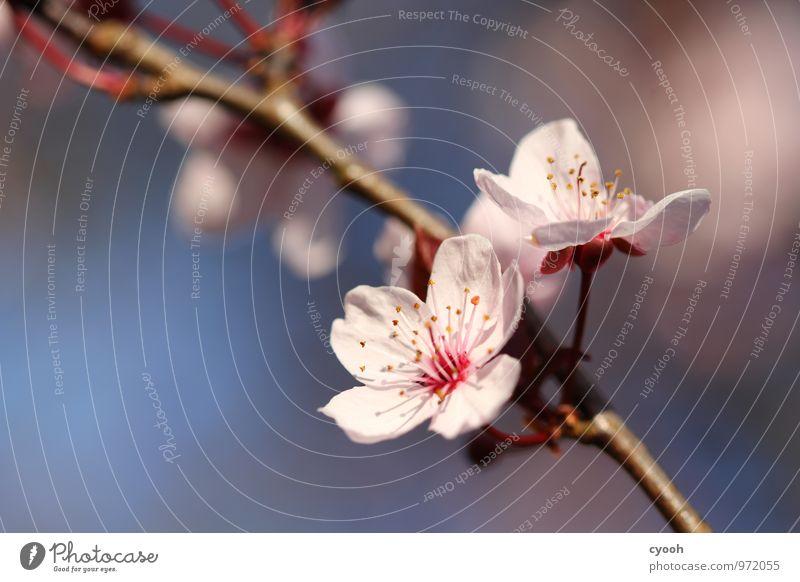 Kirschblüte schön Leben Blüte Frühling Zeit Garten rosa Park Idylle Kraft frisch Energie Fröhlichkeit Blühend Schönes Wetter Lebensfreude