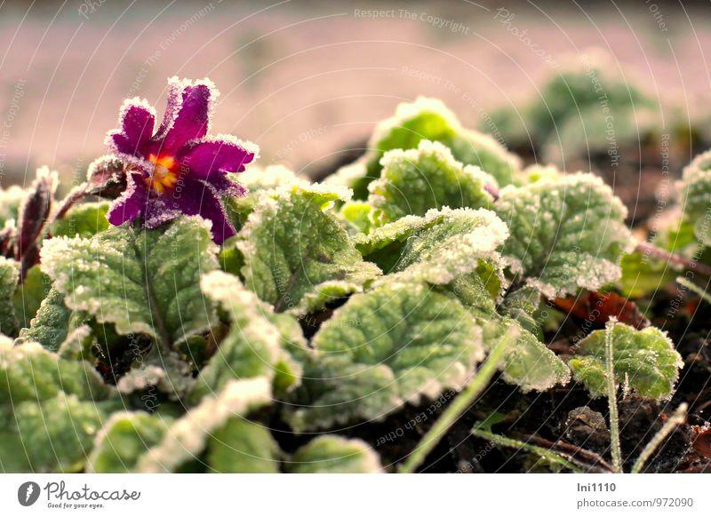 Eisprimelchen Pflanze Sonne Sonnenaufgang Sonnenuntergang Sonnenlicht Herbst Frost Blume Blatt Blüte Kissen-Primel Garten Park Blühend glänzend authentisch kalt