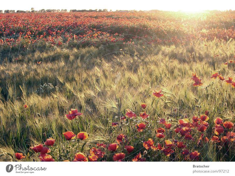 Klavierkonzert a-Moll (Robert Schumann) Sonne Blume Herbst Traurigkeit Feld Konzert groß Horizont Romantik Frieden Sehnsucht Mohn verlieren Sommertag Sehne