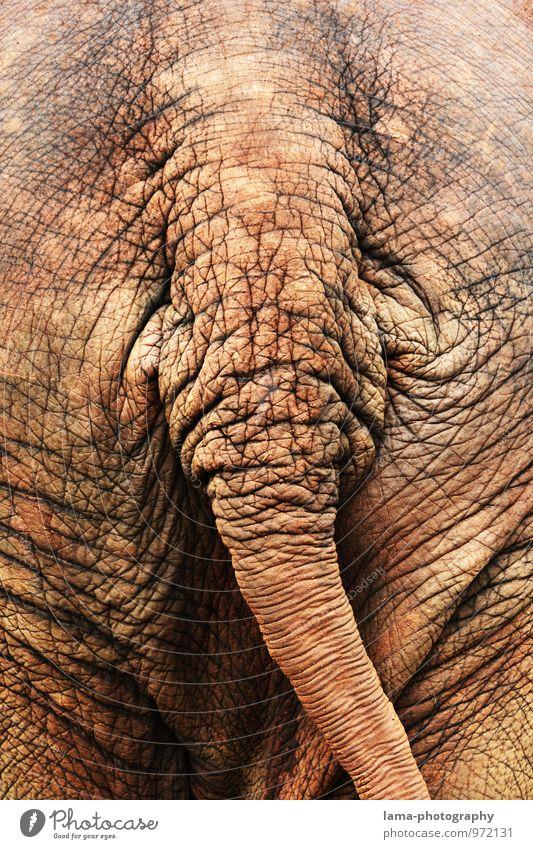 arsch. alt Tier braun Falte Asien Hautfalten Hinterteil Thailand Schwanz Elefant Elefantenhaut