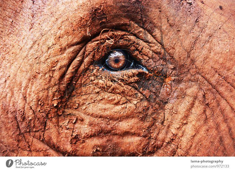 ehrlich. Auge Tier Tiergesicht Elefant Elefantenauge Elefantenhaut Blick braun Vertrauen Pupille Asien Thailand Falte Ehrlichkeit Hautfalten Farbfoto