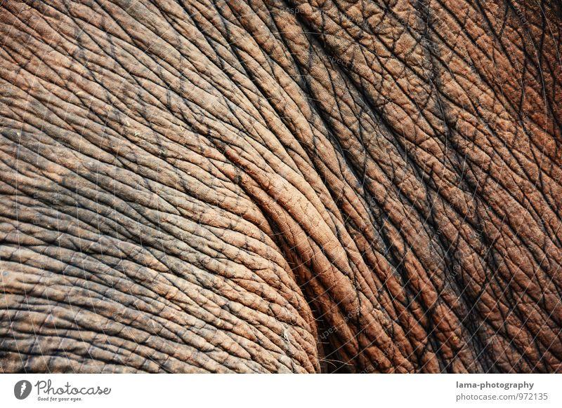 faltig. Thailand Asien Tier Elefant Elefantenhaut grau Falte Hautfalten Tierhaut Farbfoto