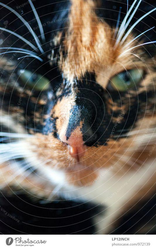 """""""°V°"""" Haustier Katze 1 Tier beobachten Blick ästhetisch außergewöhnlich exotisch frech lustig nah Neugier wild mehrfarbig Tierliebe geheimnisvoll Kommunizieren"""