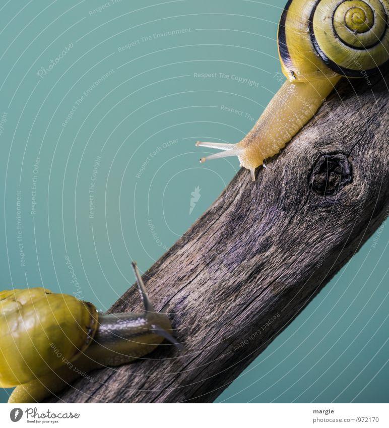Gehen wir zu dir oder zu mir? Zwei Schnecken auf einem Ast mit neutralem Hintergrund Tier Wildtier 2 Tierpaar Holz Neugier niedlich Freundschaft Tierliebe