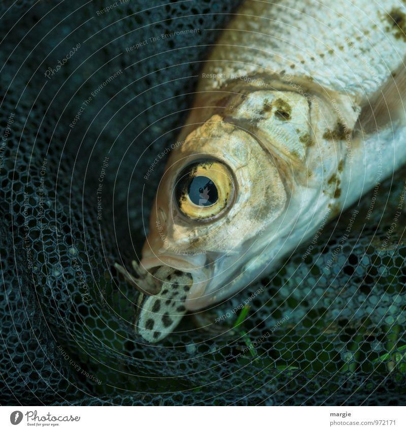 Wenn der Bissen im Halse stecken bleibt... Lebensmittel Fisch Ernährung Angeln Umwelt Natur Tier Nutztier Totes Tier Tiergesicht Molch Essen Fressen gruselig