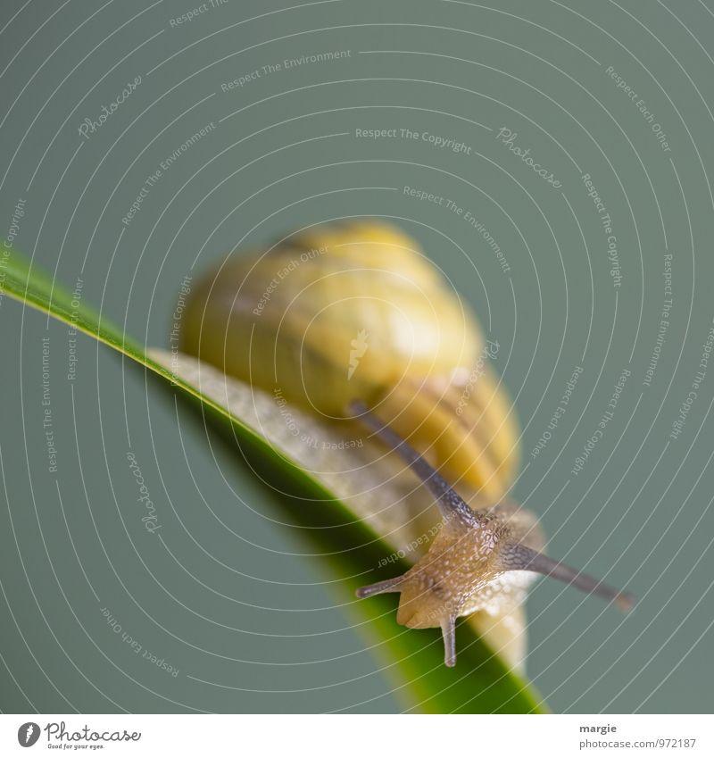 Eine kleine Schnecke auf einem Stängel mit neutralem Hintergrund in großer Unschärfe Umwelt Natur Pflanze Gras Blatt Tier Wildtier Tiergesicht 1 ästhetisch gelb