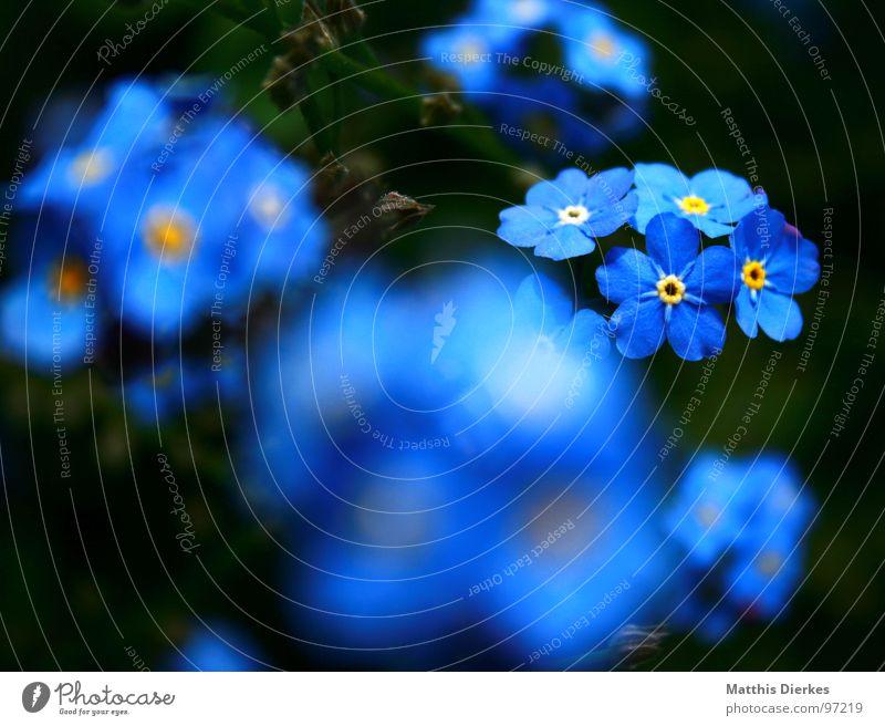SHINING II Blume Blüte Unschärfe glänzend schimmern Schweben schwarz gelb Vergißmeinnicht Balkon Pflanze atmen Luft Sommer Freizeit & Hobby blau Garten
