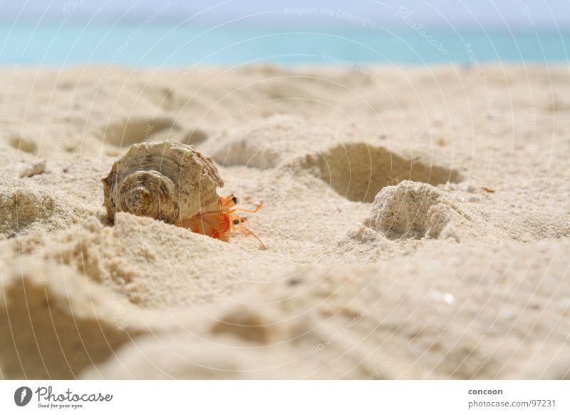 Run, Forest, run! Einsiedlerkrebs Strand krabbeln Malediven Asien laufen Muschel. Schalentier fahren Beach cruiser hermit crab ocean turquoise türkises meer