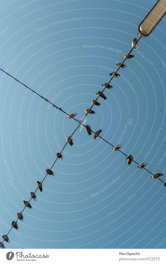 Soziales Netzwerk Wien Stadt Tier Taube Tiergruppe Schwarm lustig blau grau Vogel Versammlung Straßenbeleuchtung Drahtseil Leitung sozial