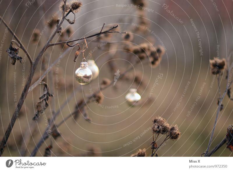 silber Pflanze Weihnachten & Advent Winter Garten glänzend Dekoration & Verzierung Sträucher Ast Zweig hängen silber Silber Christbaumkugel Zweige u. Äste Baumschmuck Distel