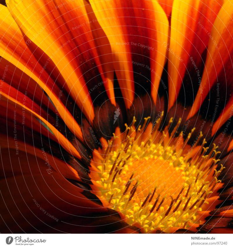 Feuer und Flamme. Blüte Blütenblatt rot gelb orange-rot Sommer braun Quadrat Stimmung Blühend Physik nah Ordnung Makroaufnahme Nahaufnahme bulme kimsey Pollen