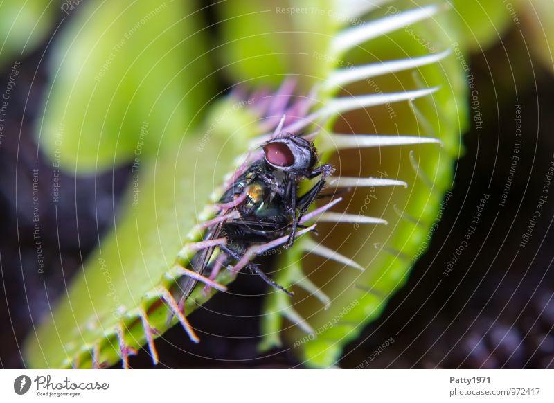 """Venusfliegenfalle mit Beute Pflanze exotisch dionaea muscipula Fleischfresser Fliege 1 Tier festhalten Fressen Jagd stachelig grün """"venusfliegenfalle makro"""