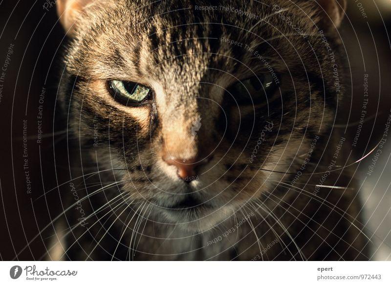 ! Tier Haustier Katze 1 beobachten nah rebellisch schön wild selbstbewußt Willensstärke Mut Selbstbeherrschung Ausdauer Erwartung Angesicht zu Angesicht