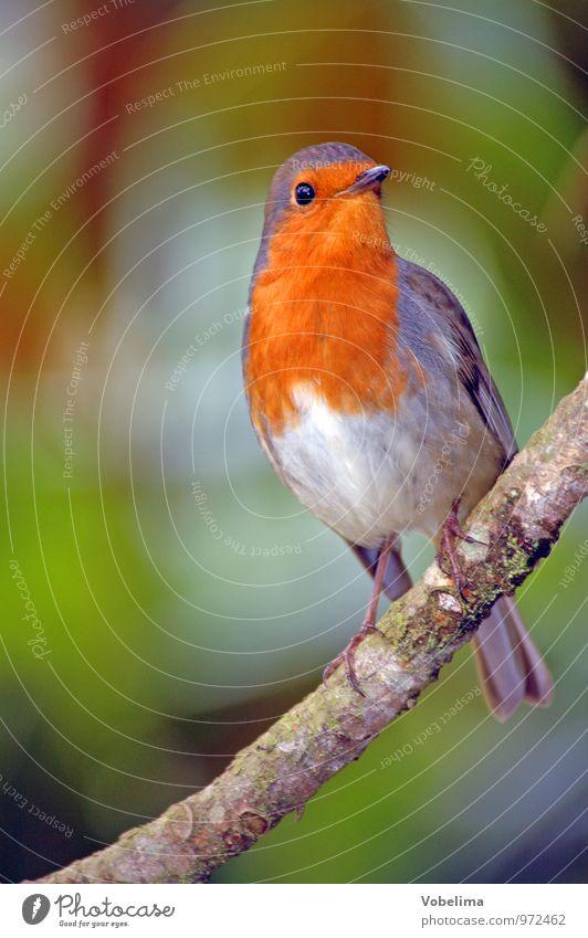 Rotkehlchen grün rot Tier natürlich grau Vogel orange