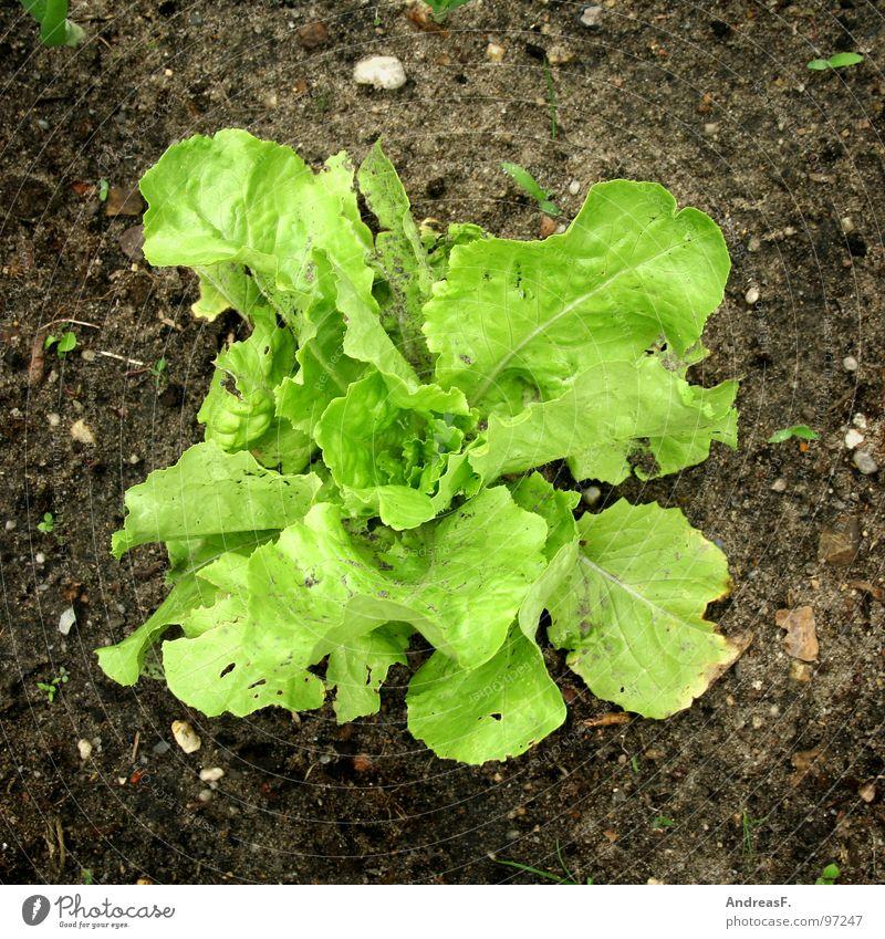 Salat Kopfsalat Beet Gärtner Vitamin grün Eisbergsalat Vegetarische Ernährung Salatblatt frisch Gesundheit Pflanze Gemüse Garten kleingärtner Erde Natur
