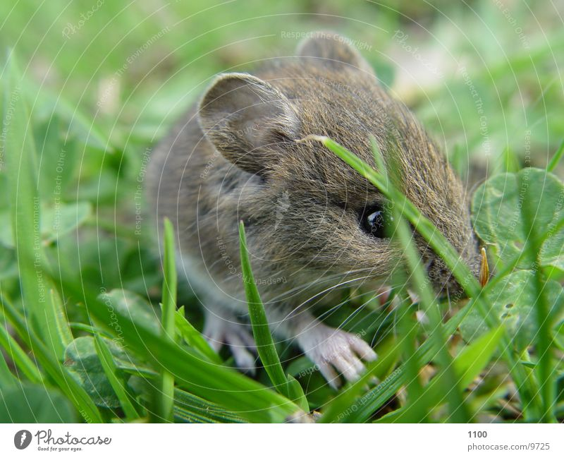 Kleine Maus Feld Gras süß Erdmaus Wiese Nagetiere Säugetier tierchen
