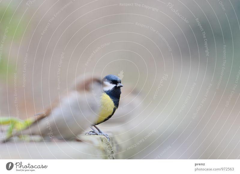 Vögel Umwelt Natur Tier Herbst Winter Wildtier Vogel 3 gelb grau Meisen Spatz Park Farbfoto Außenaufnahme Menschenleer Textfreiraum rechts Tag