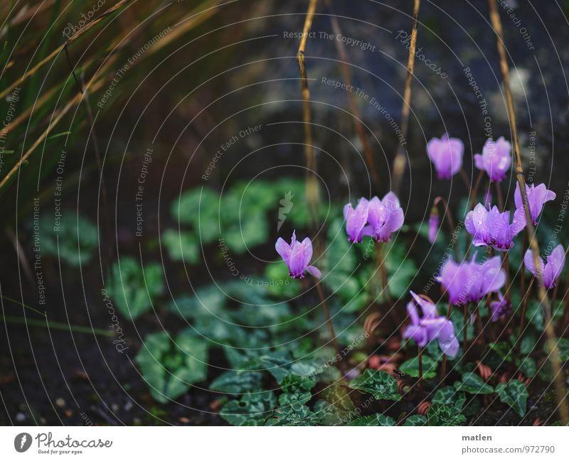 letzte Blüten Pflanze Winter Blatt Grünpflanze Wildpflanze Garten Hügel Blühend braun grün rosa Stengel Alpenveilchen Farbfoto Gedeckte Farben Außenaufnahme