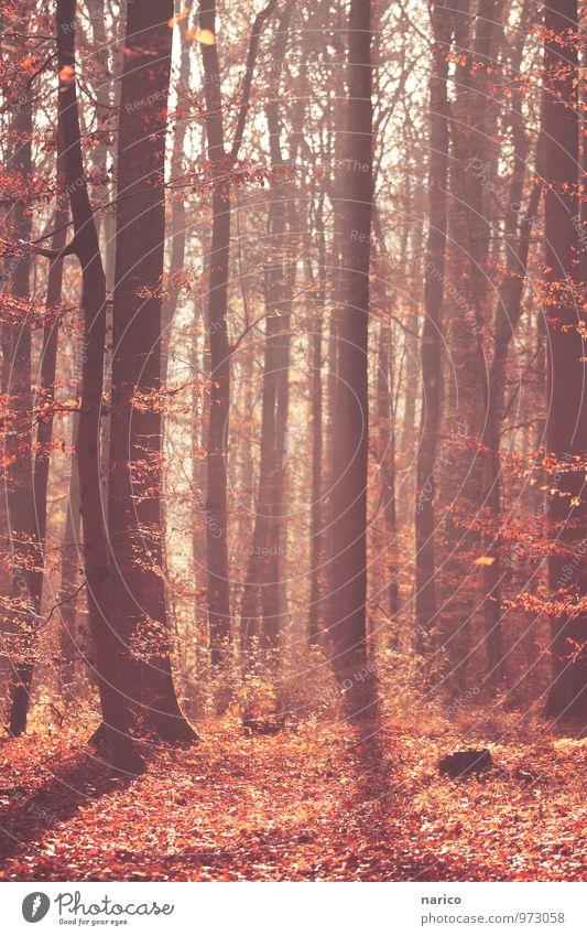 mysterious forest Umwelt Natur Pflanze Herbst Schönes Wetter Baum Blatt Laub Wald Holz natürlich rot Farbfoto Gedeckte Farben Außenaufnahme Tag Licht Schatten
