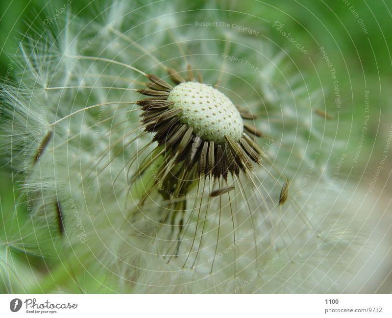 Pusteblume Blume grün Wiese Löwenzahn