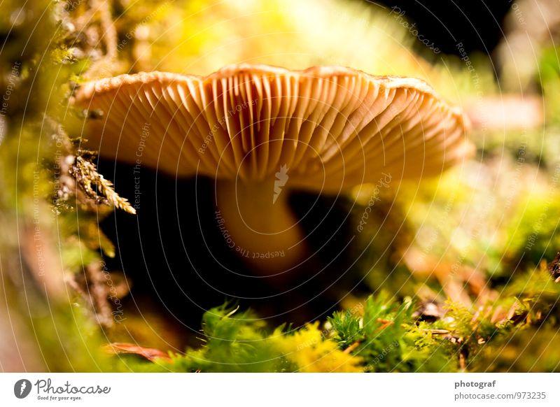 Pilz Lebensmittel Ernährung Essen Mittagessen Abendessen Sommer Sonne sprechen Kunst Luft Wasser Frühling Herbst Wetter Wind Sturm Sträucher Moos Blatt