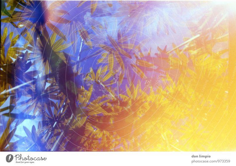 blumenfeld Sommer Pflanze Blume Blüte Blühend leuchten außergewöhnlich exotisch hell hoch nah oben trashig Wärme blau gelb Warmherzigkeit Farbe Surrealismus