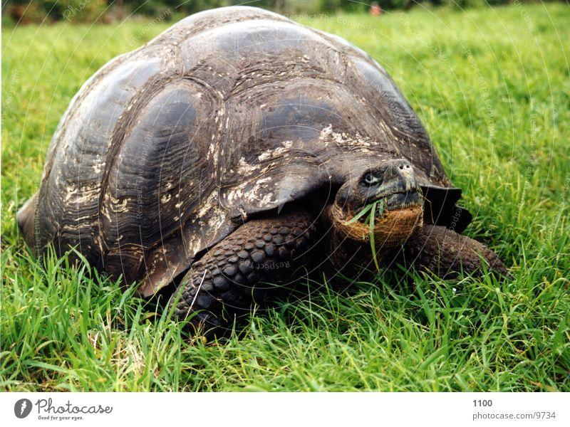 Schildkröte groß Riesenschildkröte Galapagosinseln Reptil Appetit & Hunger Wiese Südamerika grass Ernährung
