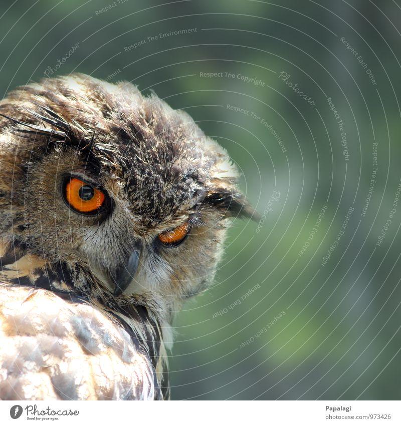 Nichts entgeht ihr... Tier Wildtier Vogel Eulenvögel Uhu 1 beobachten Jagd ästhetisch braun orange Gelassenheit geduldig ruhig Weisheit Jäger Greifvogel