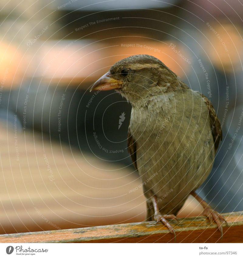 Spatz1 grau Vogel klein fliegen Dach Feder Gastronomie Taube frech Tier