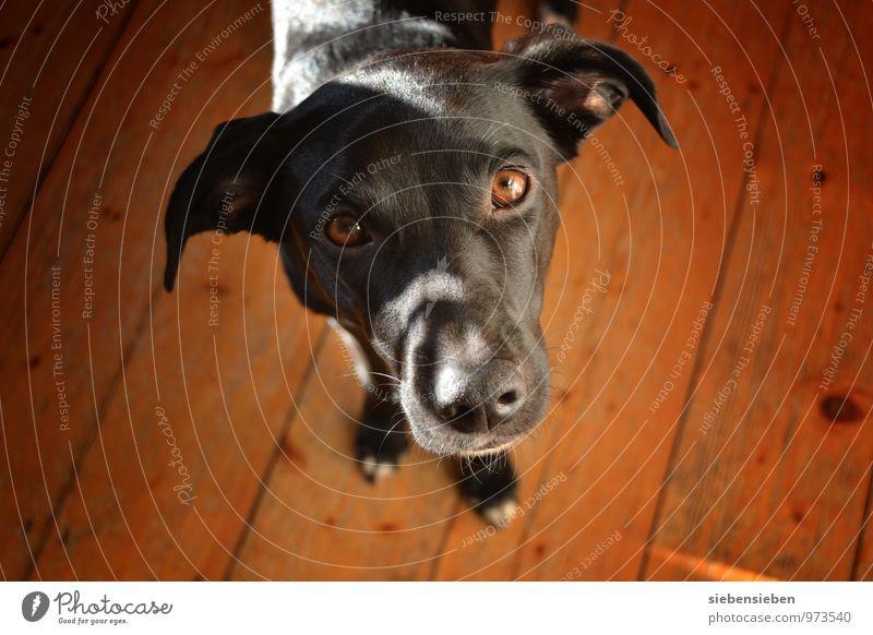 Hallihallo! Tier Haustier Hund Tiergesicht Fell 1 beobachten Blick warten Freundlichkeit Fröhlichkeit Gesundheit gut schön Neugier niedlich klug braun schwarz