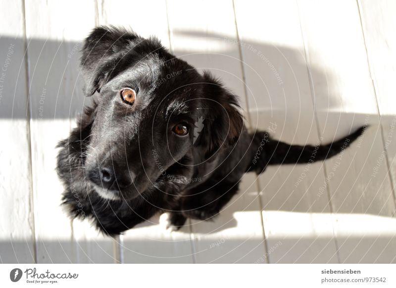 Kuckuck! Haustier Hund Tiergesicht 1 Tierjunges sitzen warten frech Freundlichkeit Fröhlichkeit einzigartig lustig niedlich schwarz weiß Zufriedenheit
