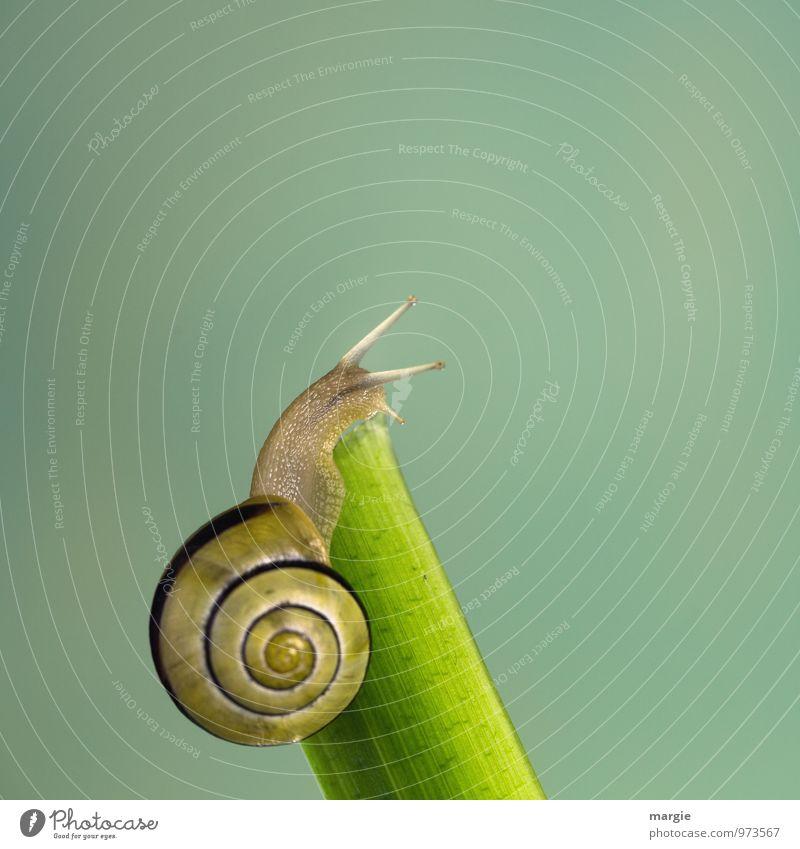 Eine gelb braune Schnecke am Ende eines Stängels mit neutralem Hintergrund Umwelt Natur Blatt Tier Weichtier 1 ästhetisch grün Gefühle schön Vorsicht