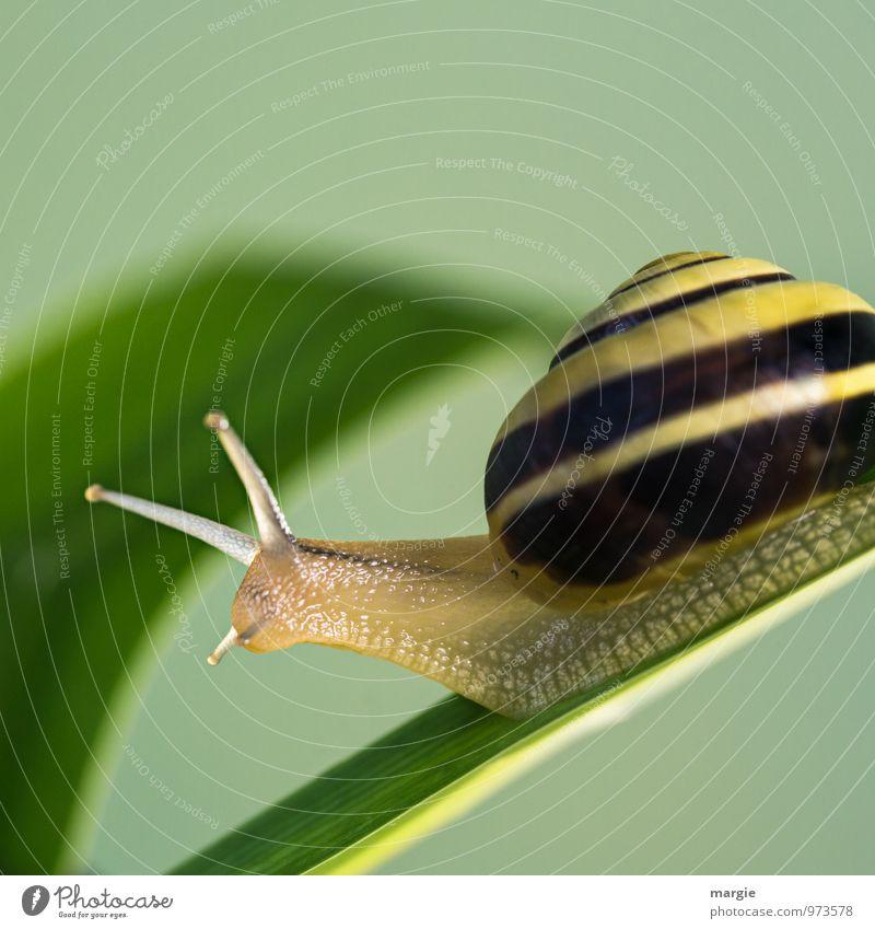 Schneckenpost Umwelt Natur Pflanze Gras Blatt Tiergesicht ästhetisch gelb grün Vorsicht Gelassenheit geduldig Neugier Geschwindigkeit Güterverkehr & Logistik