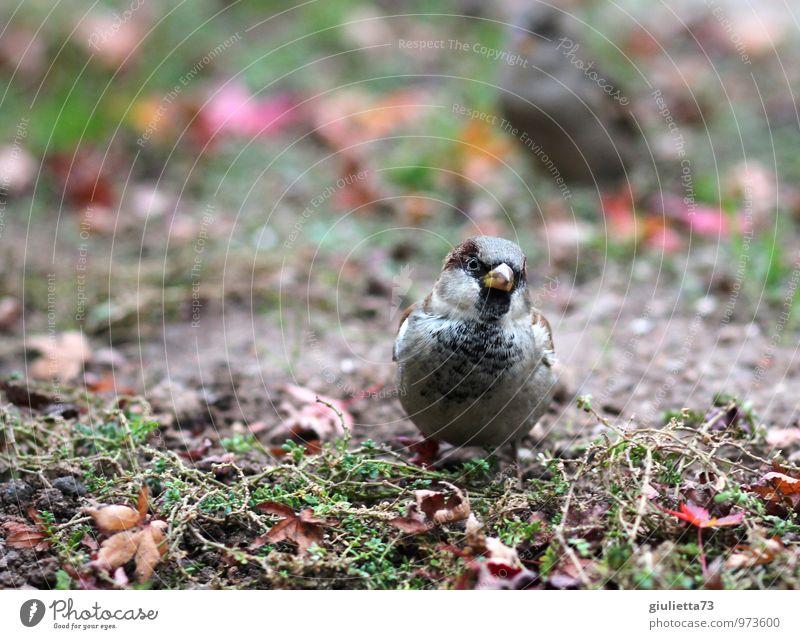 ...paar Krümel für mich? Tier Wildtier Vogel Haussperling Spatz Singvögel 1 hocken Blick frech natürlich Neugier niedlich braun grau grün orange rot Glück
