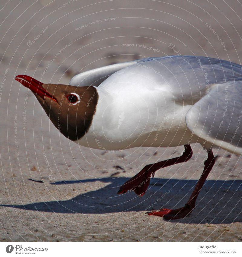 Angriff Lachmöwe Möwe Vogel Sommer Strand Meer See Ferien & Urlaub & Reisen Feder Schnabel Fischland Weststrand drohend Ornithologie Umwelt Wut Wildnis Tier