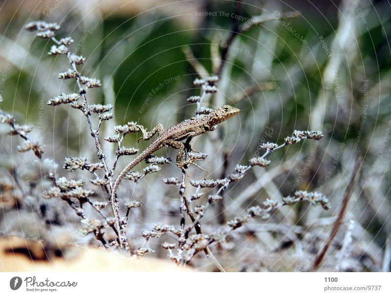 Eidechse Gras Sand Sträucher Bodenbelag Echsen Echte Eidechsen