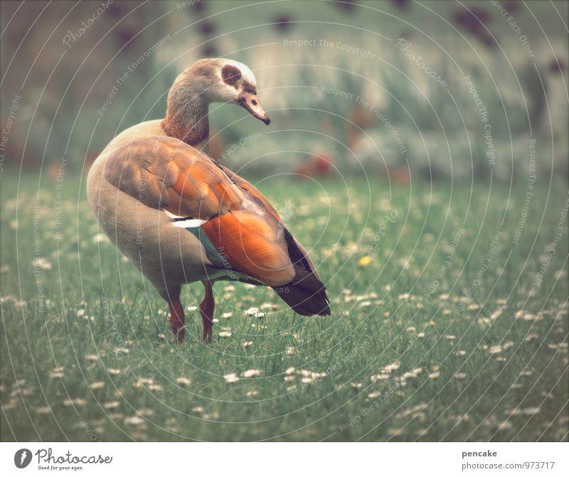 fliegen   bodenpersonal Natur Urelemente Frühling Schönes Wetter Park Wiese Tier Vogel 1 ästhetisch exotisch Ente mehrfarbig Gänseblümchen Brille Gans Nilgans