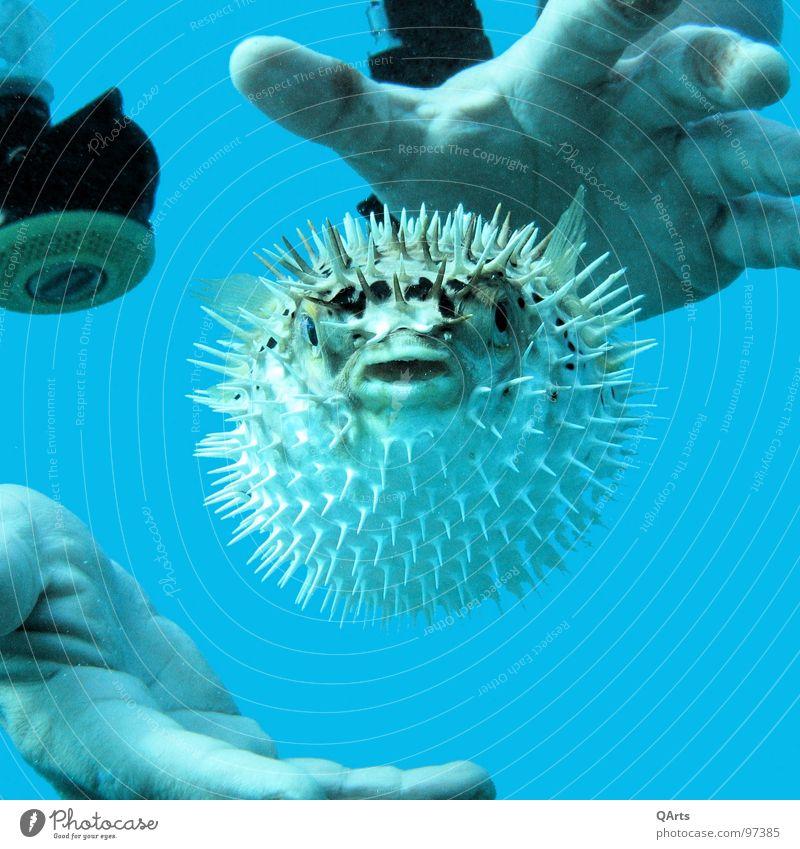 Blown up! blau Wasser Hand Meer Fisch Tiergesicht tauchen bizarr Wassersport Taucher Mensch Kugelfisch
